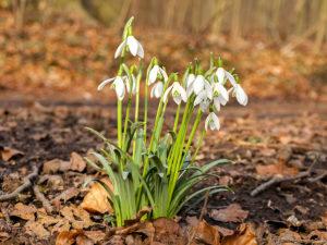 Schneeglöcken als Vorboten des Frühlings