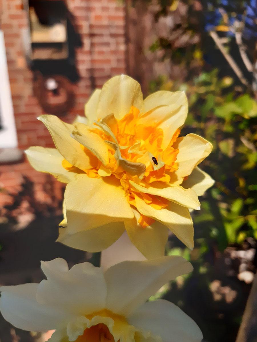 Exten, 2. April 2020:  Rapsglanzkäfer fliegen auf Gelb