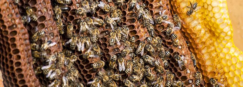 Honigbienen und Waben