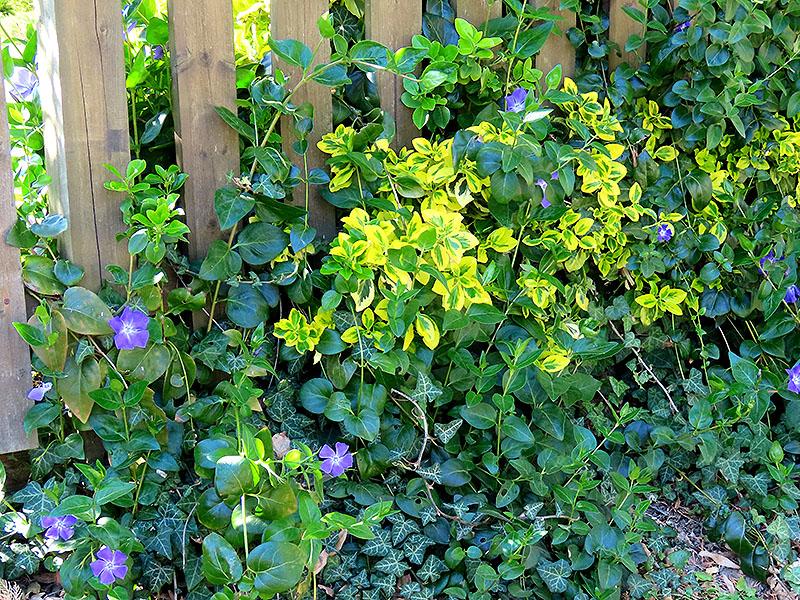 Pflanzen am Zaun