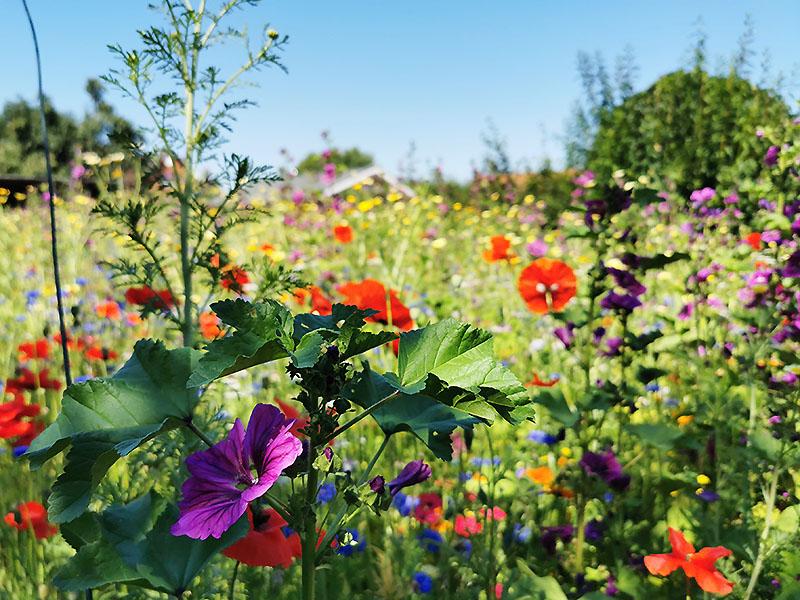 Stillleben - Reinhards Blumenwiese im Garten