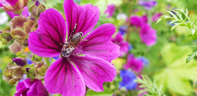 """Eine Biene """"badet"""" in Pollen"""