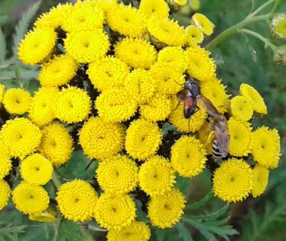Wildbienen auf Rainfarn