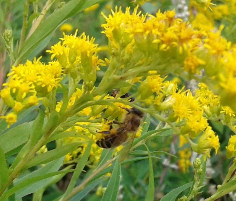 Honigbienen auf Goldrute