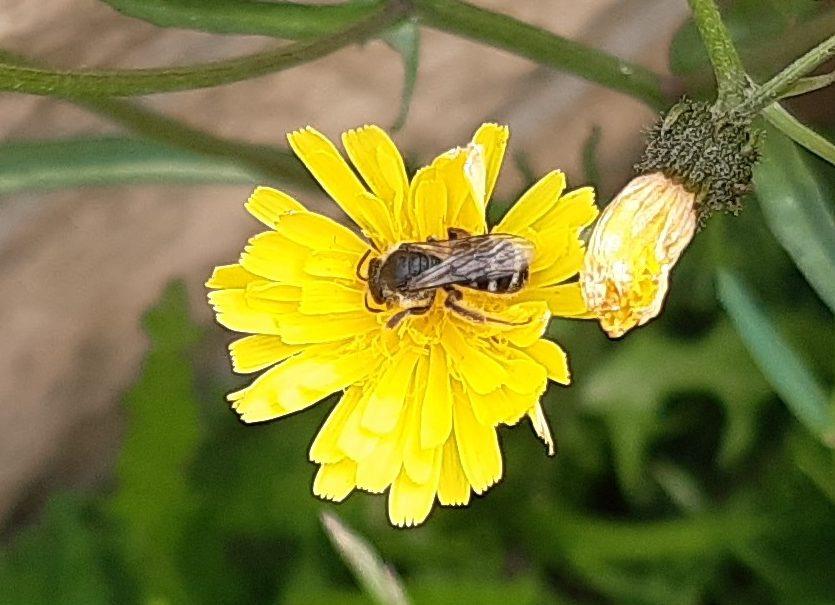 Wildbiene auf Pippau